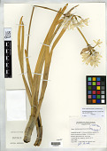 view Narcissus papyraceus Ker Gawl. digital asset number 1