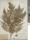 view Pteridium aquilinum var. latiusculum digital asset number 1