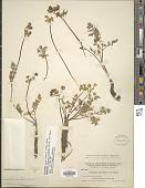 view Lomatium cous (S. Watson) J.M. Coult. & Rose digital asset number 1