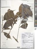 view Pouteria coriacea (Pierre) Pierre digital asset number 1