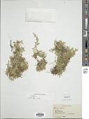 view Selaginella sp. digital asset number 1