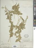 view Selaginella helferi Warb. digital asset number 1