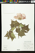 view Hibiscus mutabilis L. digital asset number 1