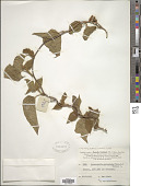 view Jacquemontia paniculata (Burm. f.) Hallier f. digital asset number 1