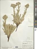 view Perezia multiflora Less. digital asset number 1