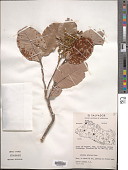 view Licania arborea Seem. digital asset number 1