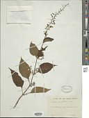 view Plectranthus longitubus Miq. digital asset number 1