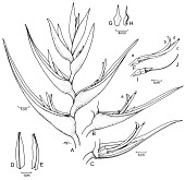 view Heliconia barryana W.J. Kress digital asset number 1