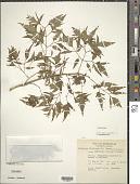 view Polyscias fruticosa (L.) Harms digital asset number 1