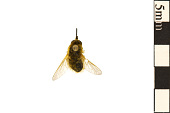 view Bee Fly digital asset number 1