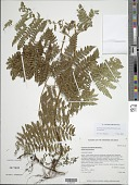 view Hypolepis hawaiiensis Brownsey digital asset number 1