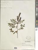 view Amorpha fruticosa L. digital asset number 1