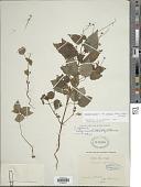 view Circaea alpina subsp. imaicola (Asch. & Magnus) Kitam. digital asset number 1