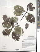 view Psychotria uapoensis Lorence & W.L. Wagner digital asset number 1