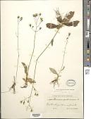 view Hieracium carolinianum digital asset number 1