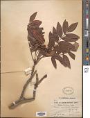 view Sorbus wilsoniana C.K. Schneid. digital asset number 1