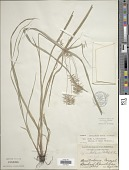 view Cyperus lentiginosus Millsp. & Chase digital asset number 1