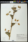 view Begonia cucullata Willd. digital asset number 1