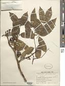 view Copaifera guyanensis Desf. digital asset number 1