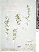 view Selaginella abyssinica Spring digital asset number 1