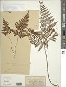 view Dryopteris rubiginosa (Brack.) Kuntze digital asset number 1