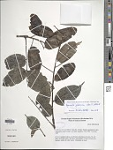 view Aganope gabonica (Baill.) Polhill digital asset number 1
