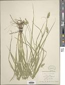 view Carex tribuloides Wahlenb. digital asset number 1