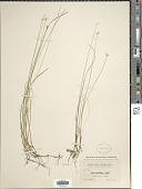 view Carex pauciflora Lightf. digital asset number 1
