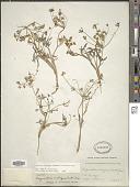 view Lomatium ambiguum (Nutt.) Coult. & Rose digital asset number 1