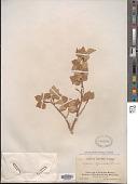 view Populus tremuloides Michx. digital asset number 1