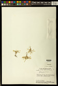 view Polygala sedoides A.W. Benn. digital asset number 1
