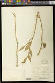 view Trichosporum philippinense (C.B. Clarke) Kuntze digital asset number 1
