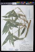 view Olyra latifolia L. digital asset number 1