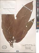 view Sterculia petelotii Merr., ined. digital asset number 1