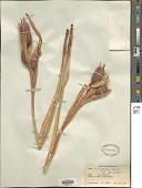 view Iris halophila Pall. digital asset number 1