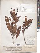 view Ouratea thyrsoidea Engl. digital asset number 1