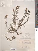 view Linaria vulgaris Mill. digital asset number 1