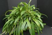 view Bulbophyllum cocoinum Bateman ex Lindl. digital asset number 1