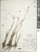 view Rhynchospora plumosa Elliott digital asset number 1
