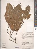 view Anaxagorea brevipedicellata Timmerman digital asset number 1