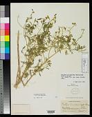 view Peritoma breviflorum Wooton & Standl. digital asset number 1