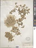 view Clematis orientalis L. digital asset number 1