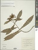 view Aphelandra hieronymi Griseb. digital asset number 1