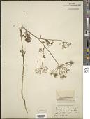 view Peucedanum graveolens S. Watson in C. King digital asset number 1