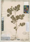 view Solanum fendleri A. Gray digital asset number 1