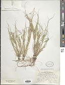 view Carex sychnocephala J. Carey digital asset number 1