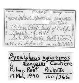 view Synalpheus apioceros sanjosei digital asset number 1