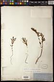 view Euphorbia bifida Hook. & Arn. digital asset number 1