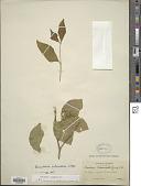 view Bunchosia columbica Nied. digital asset number 1