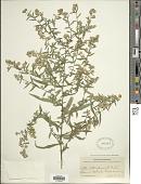 view Symphyotrichum lateriflorum var. hirsuticaule (DC.) G.L. Nesom digital asset number 1